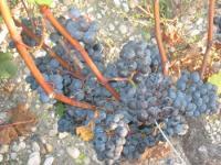 cep-sarments-et-raisins.jpg